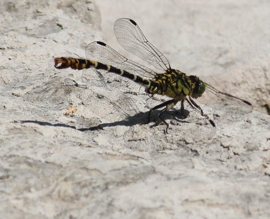Libelle auf einem Stein