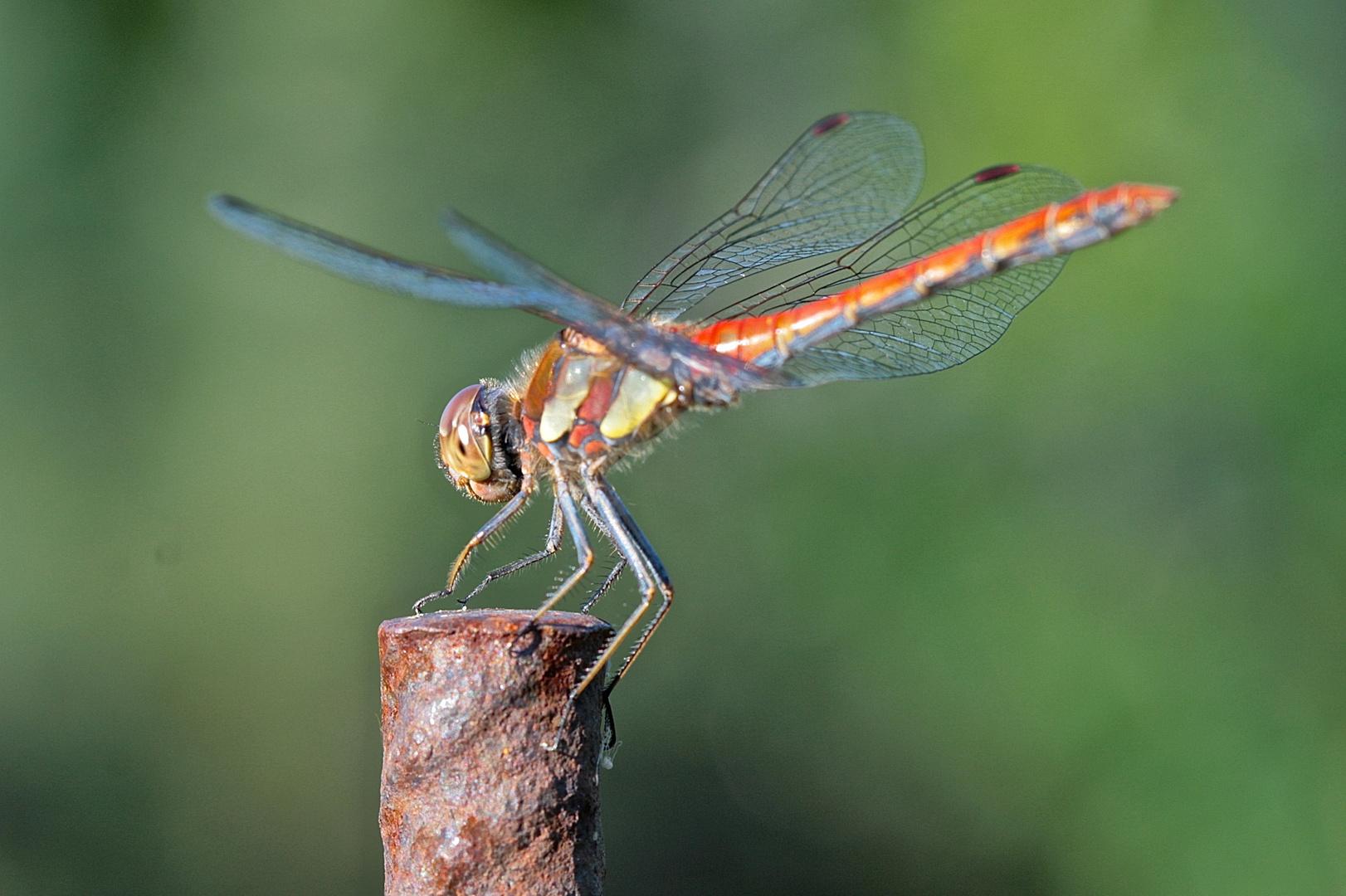Libelle auf Eisenstange (2)