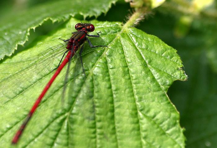 Libelle auf Futtersuche
