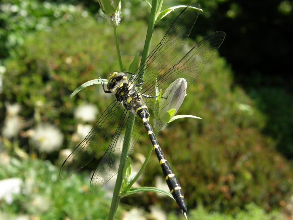 Libelle auf Glockenblume