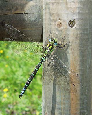 Libelle auf Holzzaun