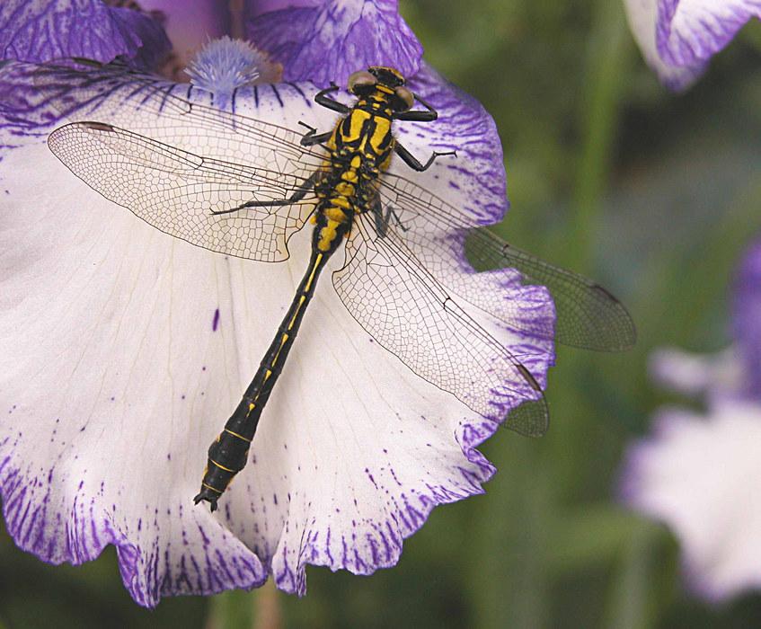 Libelle auf Iris