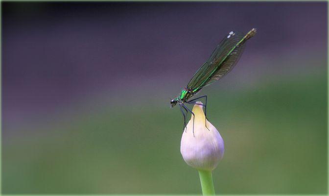 Libelle auf Knospe.....