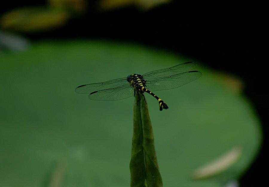 Libelle auf Lotusblatt