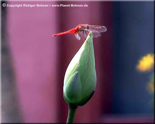 Libelle auf Lotusblüte