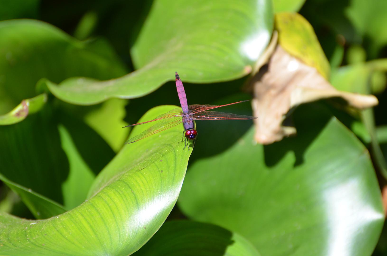 Libelle auf Mauritius