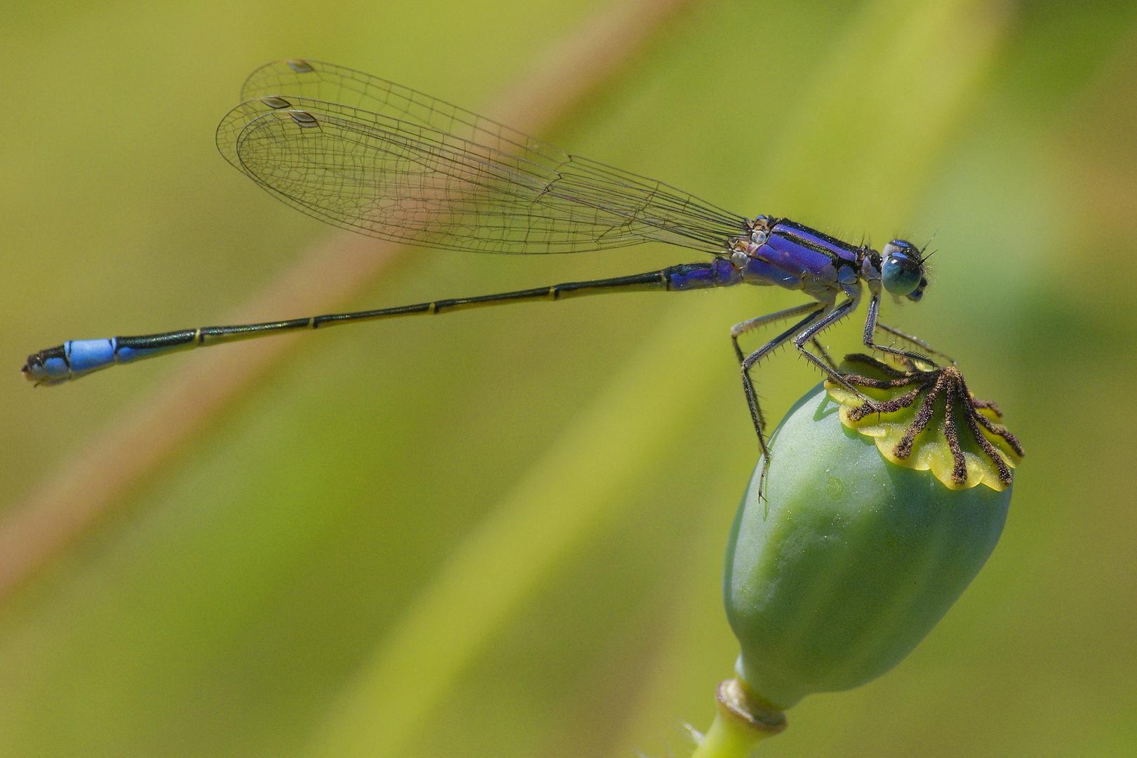 Libelle auf Mohn