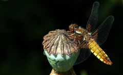 Libelle auf Mohnkapsel...