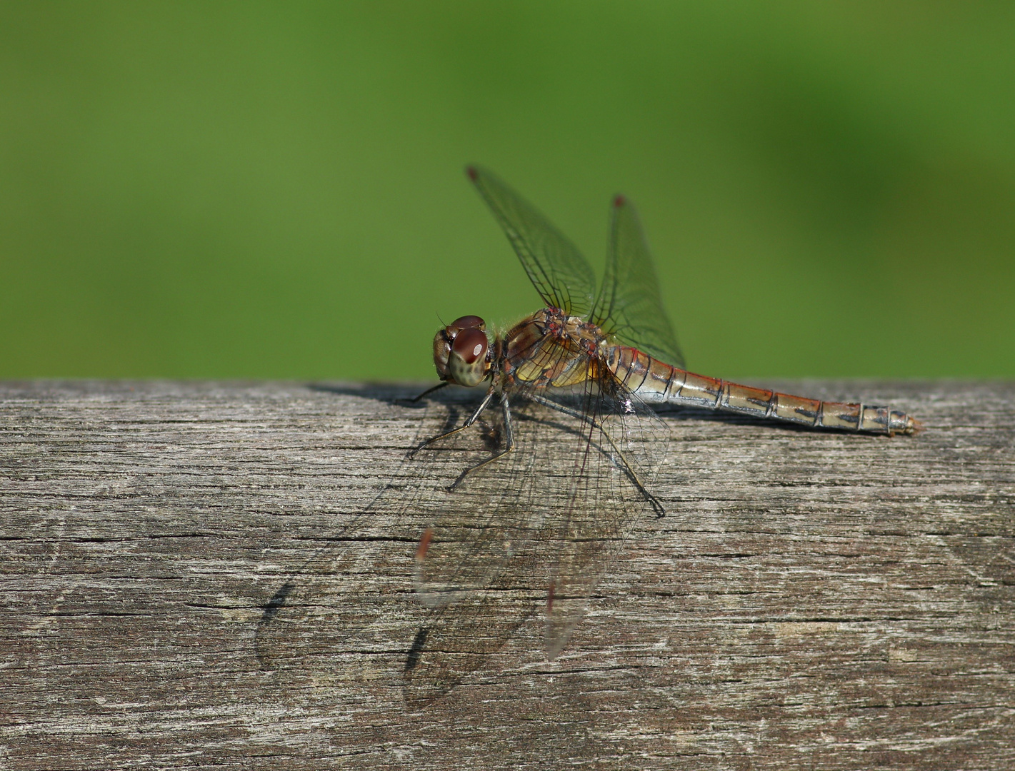 Libelle auf Parkbank