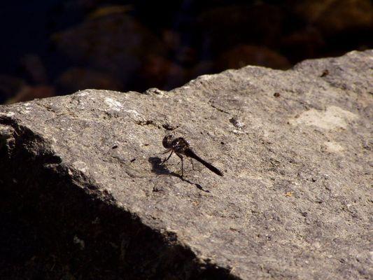 Libelle auf Stein