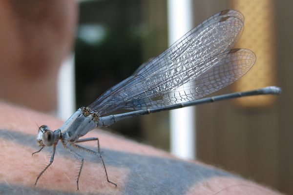 Libelle auf Tattoo