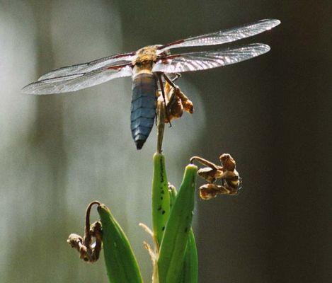 Libelle auf Wasserlilie
