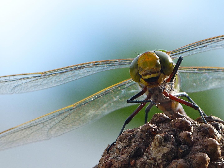 Libelle auf Zapfen 1