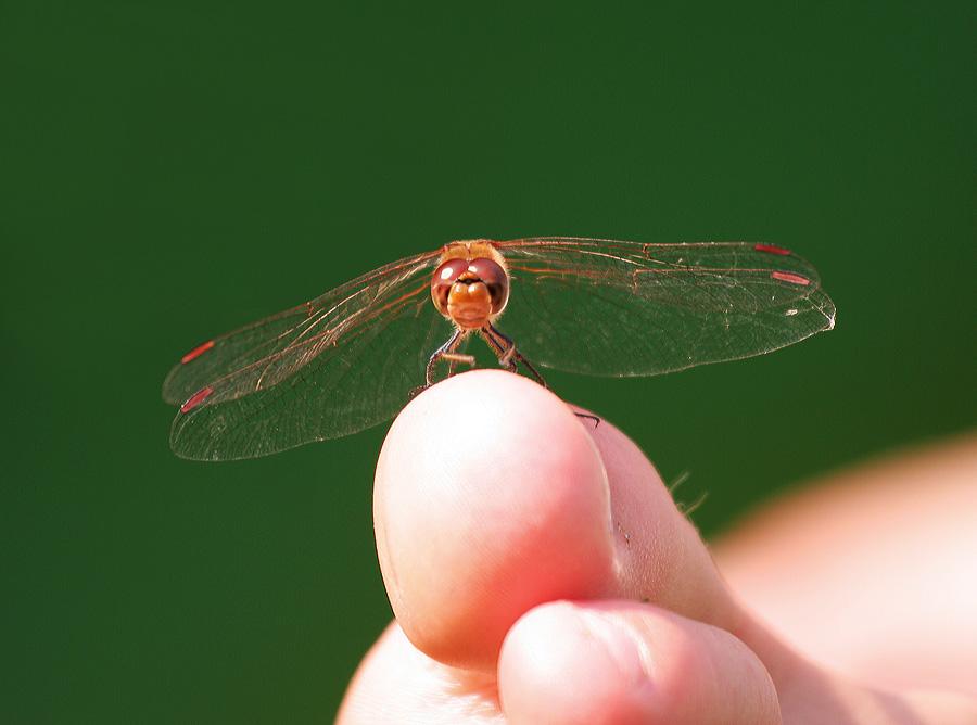 Libelle auf Zeh