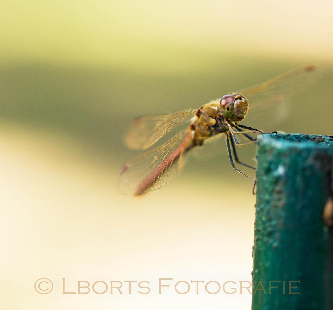 Libelle aus dem Botanischen Garten Wien