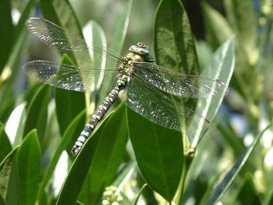 Libelle aus dem Gartenteich