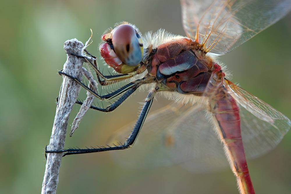 Libelle aus dem Urlaub