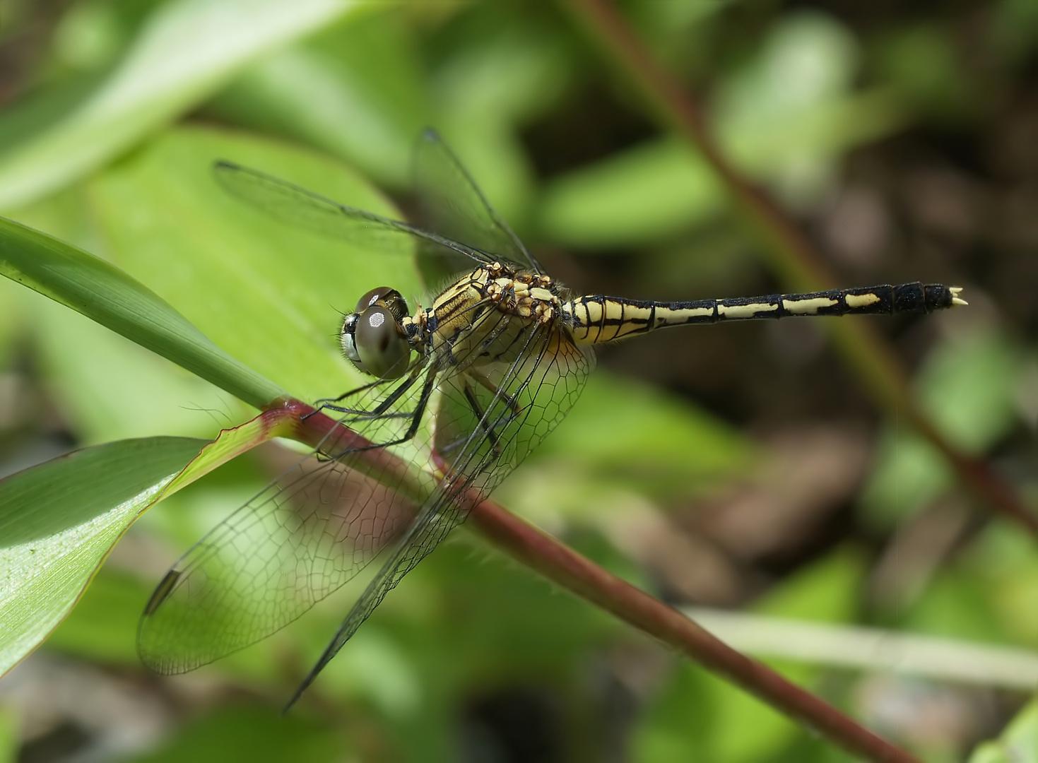 Libelle aus Sulawesi