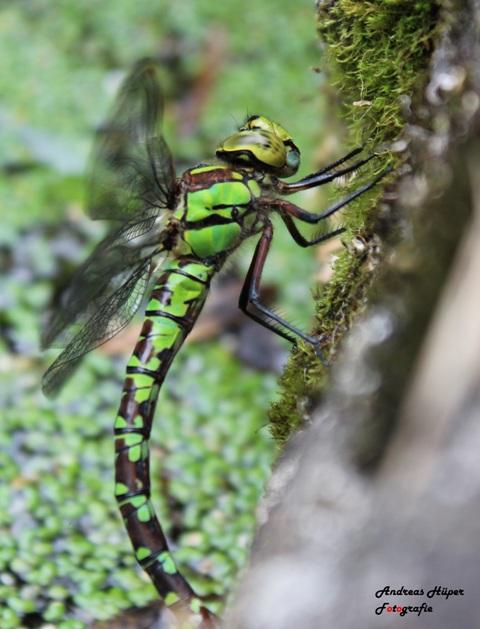 Libelle bei der Ei-ablage