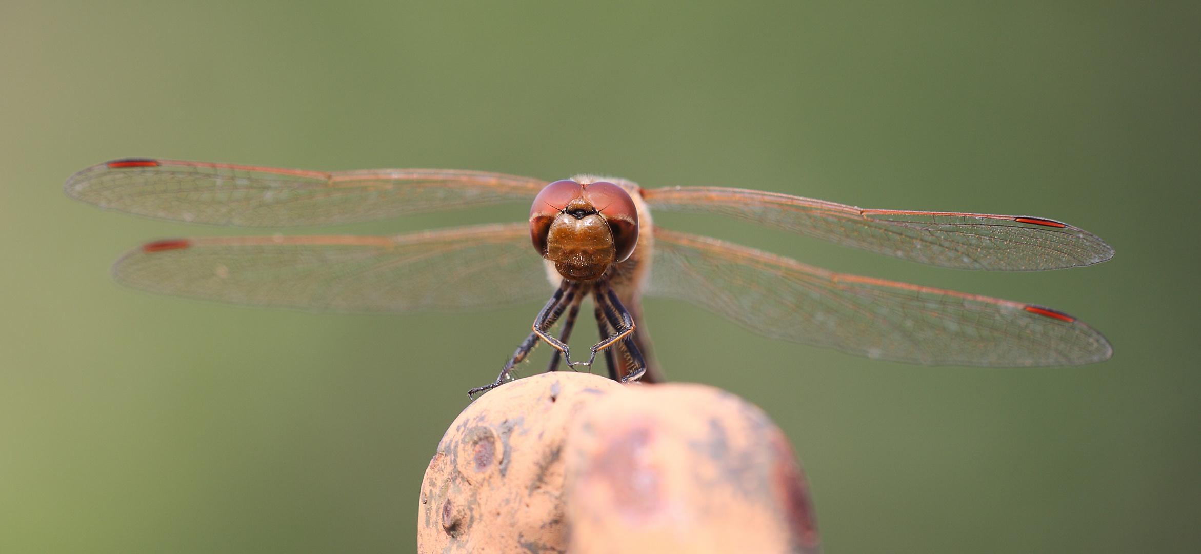 Libelle beim beten