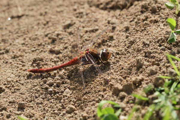 Libelle beim Mineralien aufnehmen