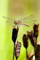 Libelle – beim Posieren erwischt.