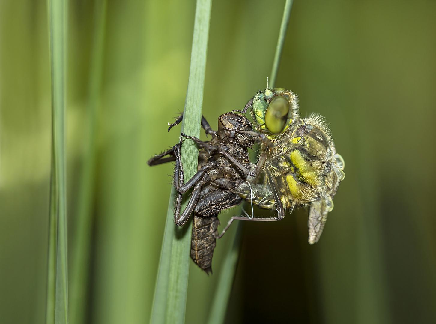 Libelle beim Schlupf