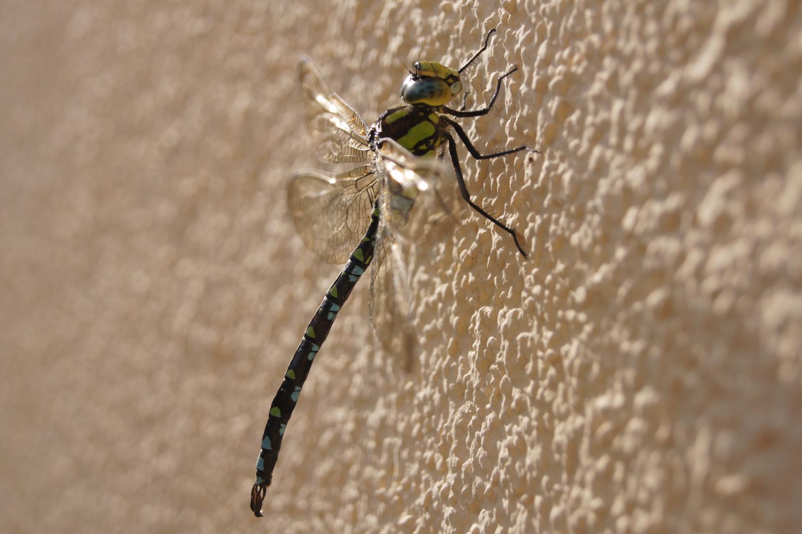 Libelle beim Sonnenbad