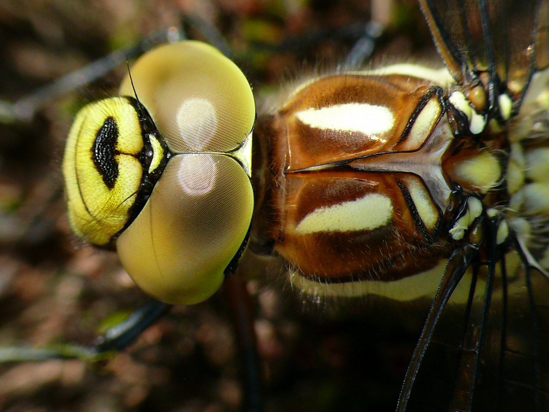 Libelle Close up - Harz