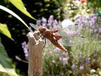 Libelle, Danke für das lange Stillhalten!