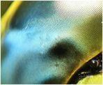 Libelle - das Auge -