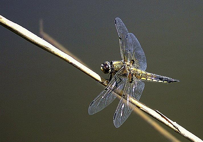 Libelle, die 4711.