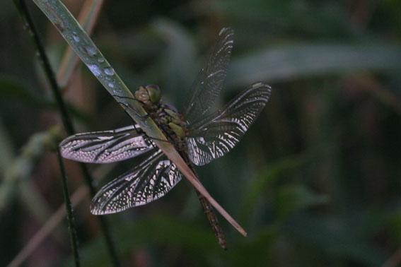 Libelle die erste :-)