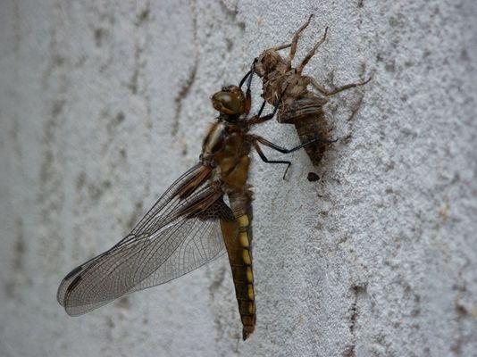 Libelle die grade aus ihrer Puppe geschlüpft ist. ...Oder?