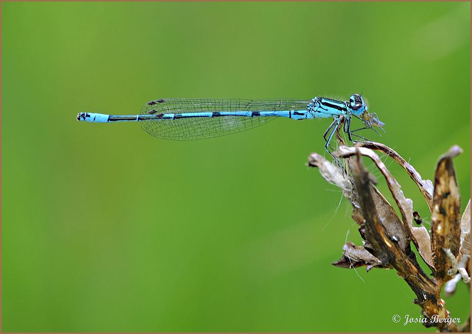 Libelle (die kleine blaue)