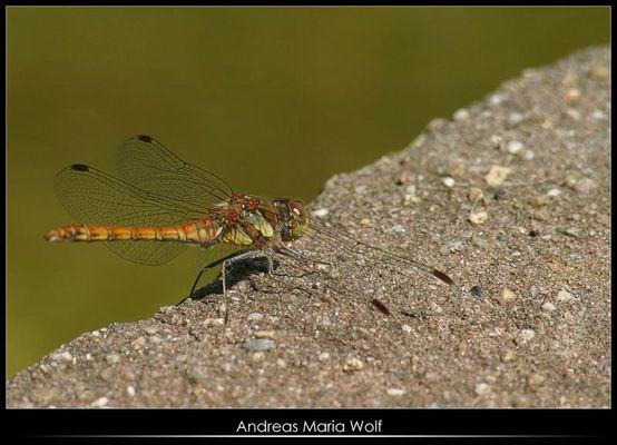 Libelle, die stillhält, aber der Fotograf leider nicht...