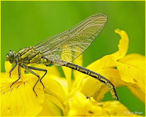 Libelle (ersetze die Biene)