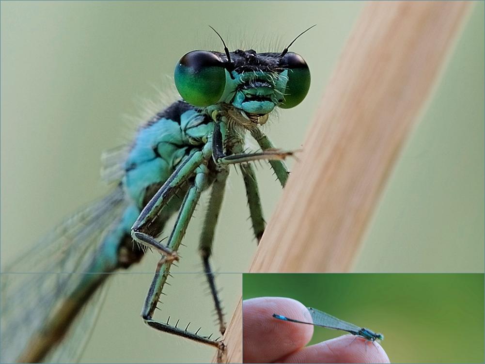 Libelle, erst am Schilf, dann auf meiner Hand