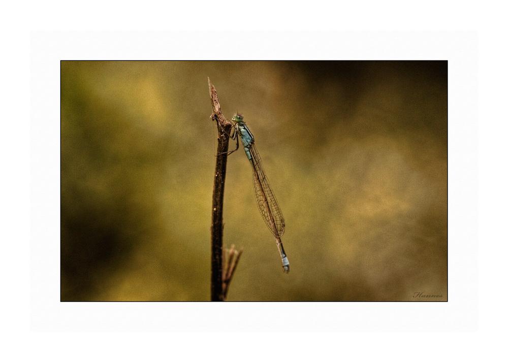 Libelle etwas anders
