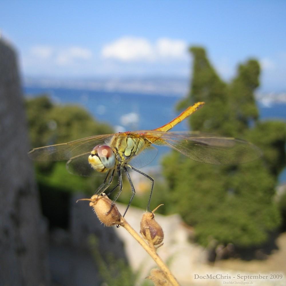Libelle, Eze, Côte d'Azur