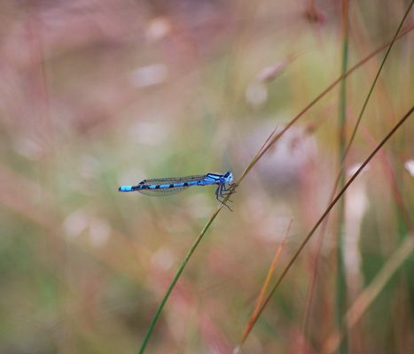 Libelle ganz blau