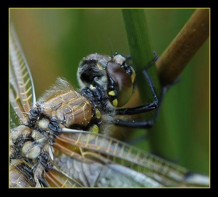 Libelle ganz groß