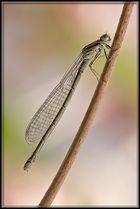 Libelle ganz klassisch