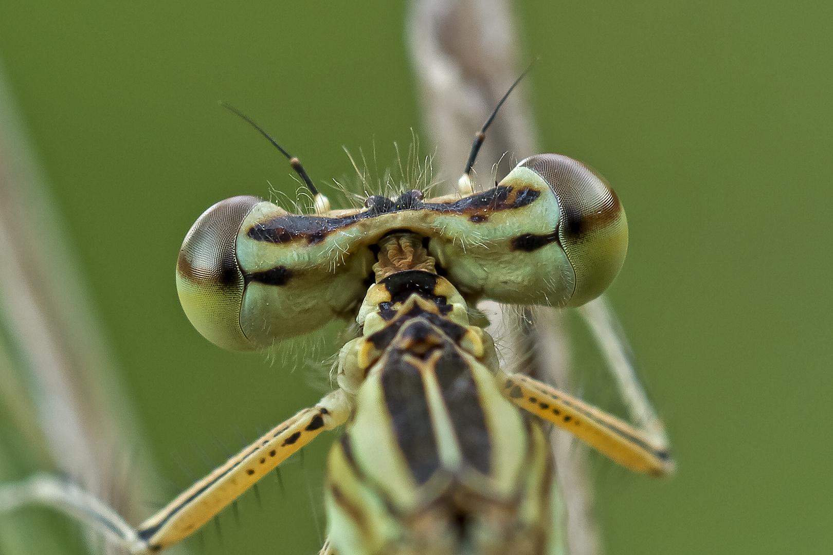 Libelle ganz nah
