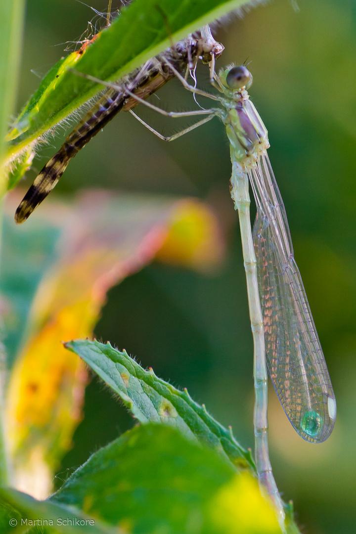 Libelle gerade aus ihrem alten Anzug geschlüpft