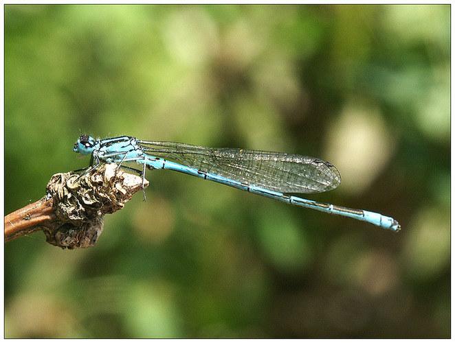 Libelle Hufeisenazurjungfer - Männchen (Coenagrion puella)