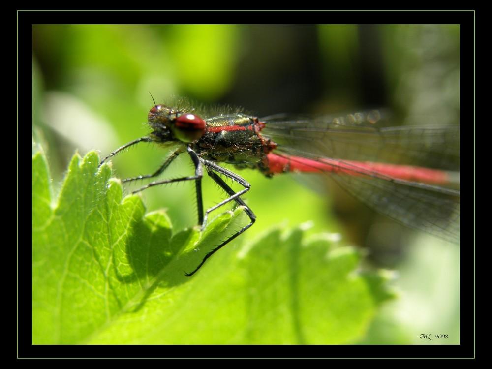 Libelle II