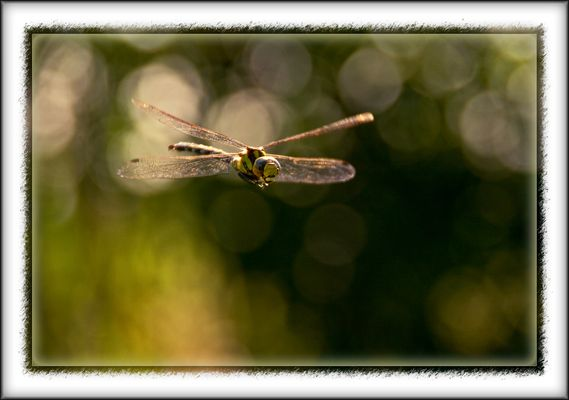 Libelle im Anflug