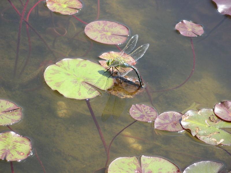 Libelle im botanischen Garten /München mit einer Canon 710iS