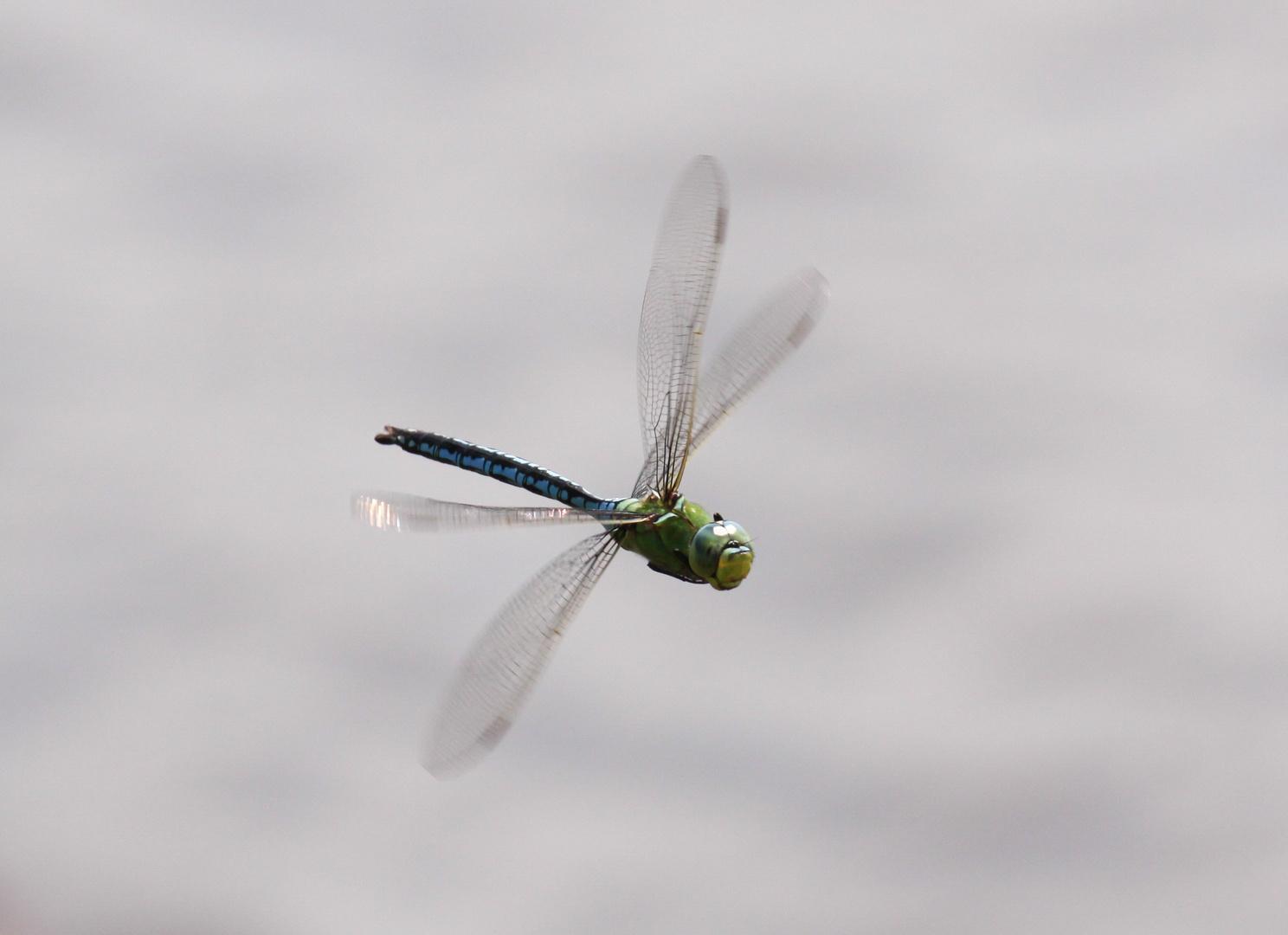Libelle im Flug 1